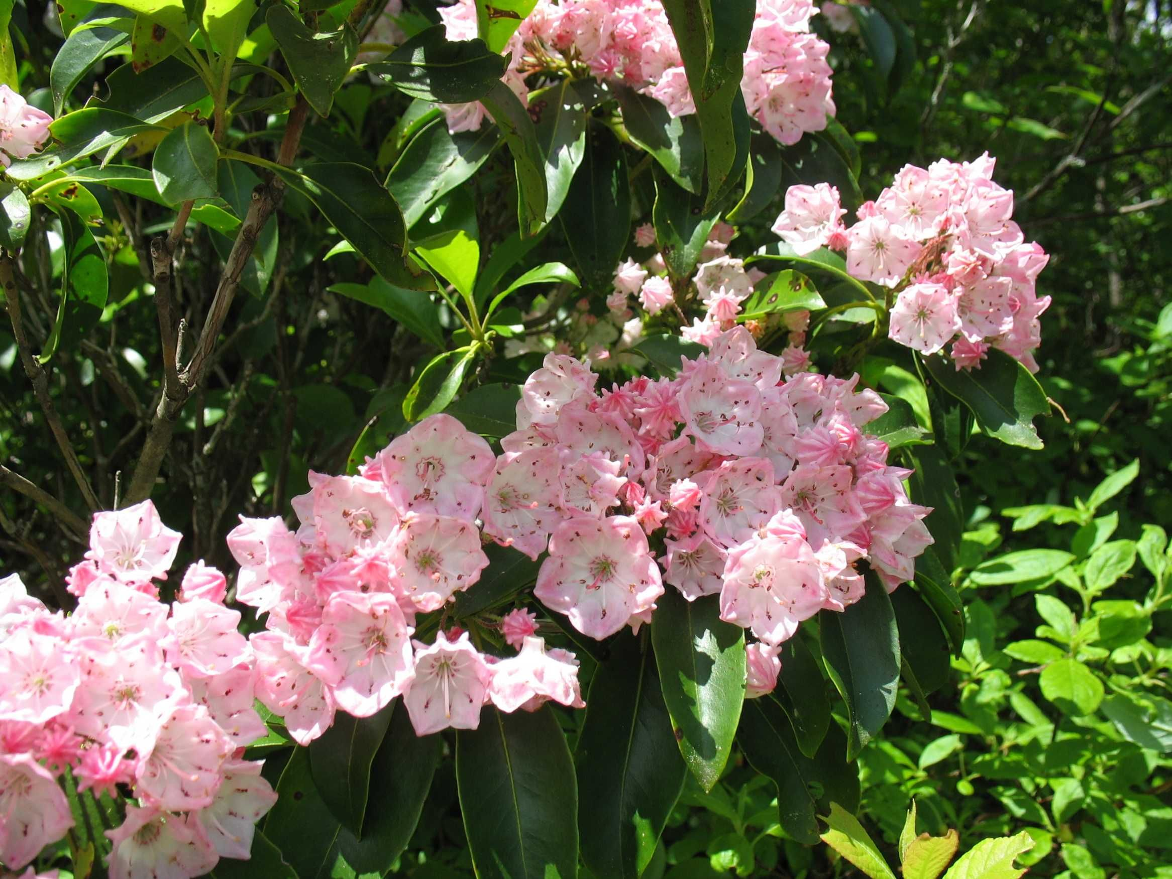 Mountain Laurel Few Plants Are More Dazzling In Full Bloom Than Kalmia Latifolia Another Mountainside Plant This One Can Laurel Plant Plants Native Plants
