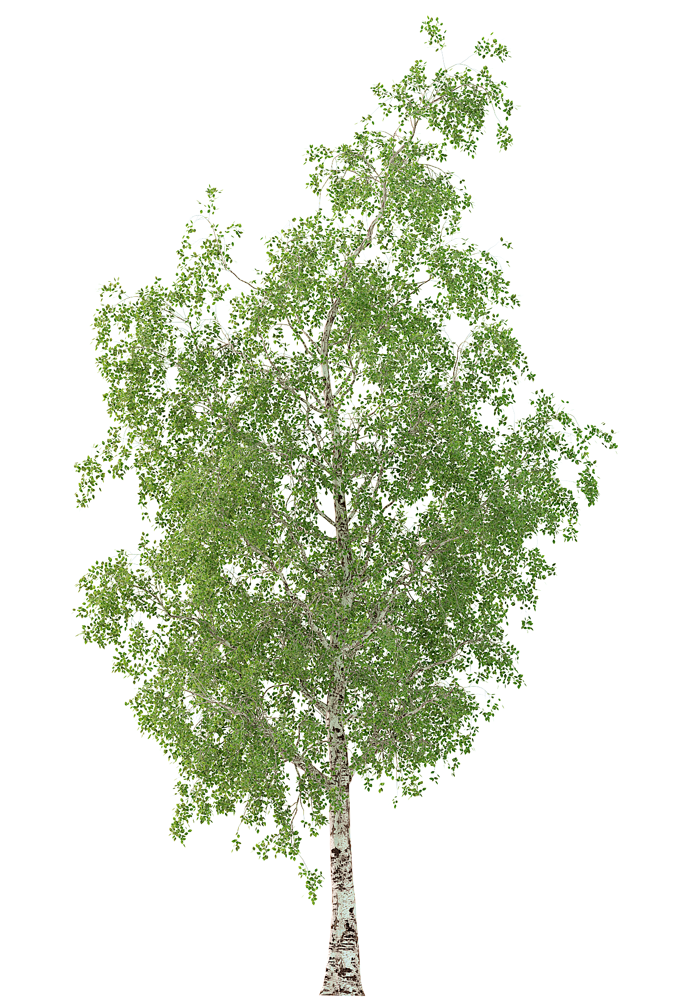 Birch Tree 3d Model No 2 3 Seasons Birch Tree Birch 3d Model