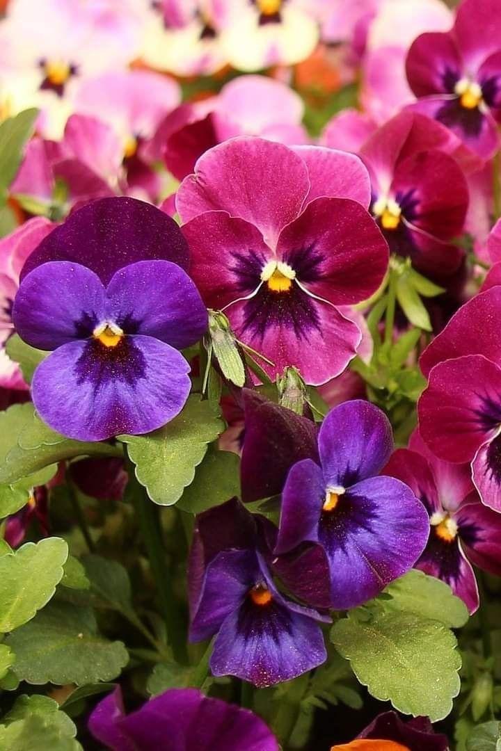 Pin By Smb On Pensamientos Flor In 2020 Pansies Flowers Pansies Beautiful Flowers