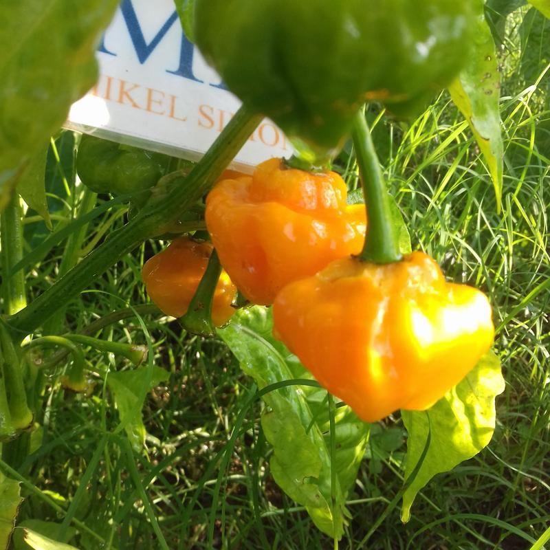 7 POD Brain Strain Red,10 Semillas,Seeds,Capsicum chinense,cosecha propia 124