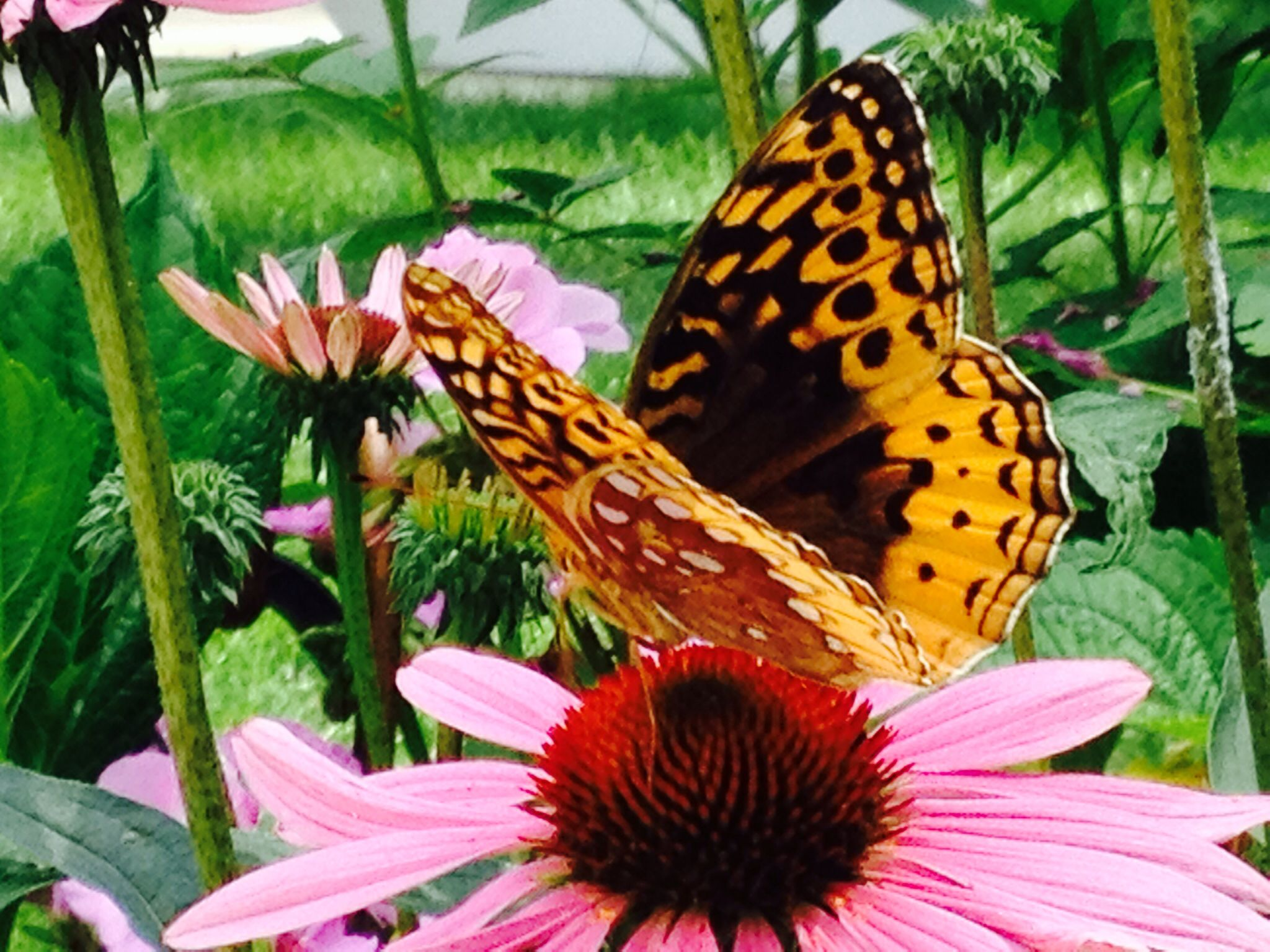 Butterfly on Cosmos, 3