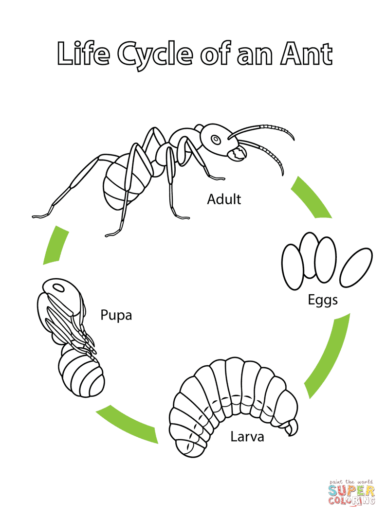 Life Cycle of an Ant |...