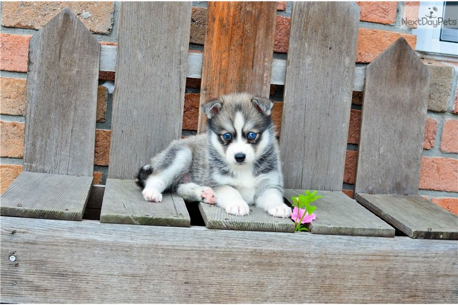 Pomsky Puppy For Sale Near Columbus Ohio 1271c9e5 9941 Pomsky