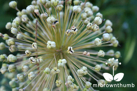 Allium Seed Pods How To Save Allium Seeds Seed Pods Allium Flowers Dandelion Seed