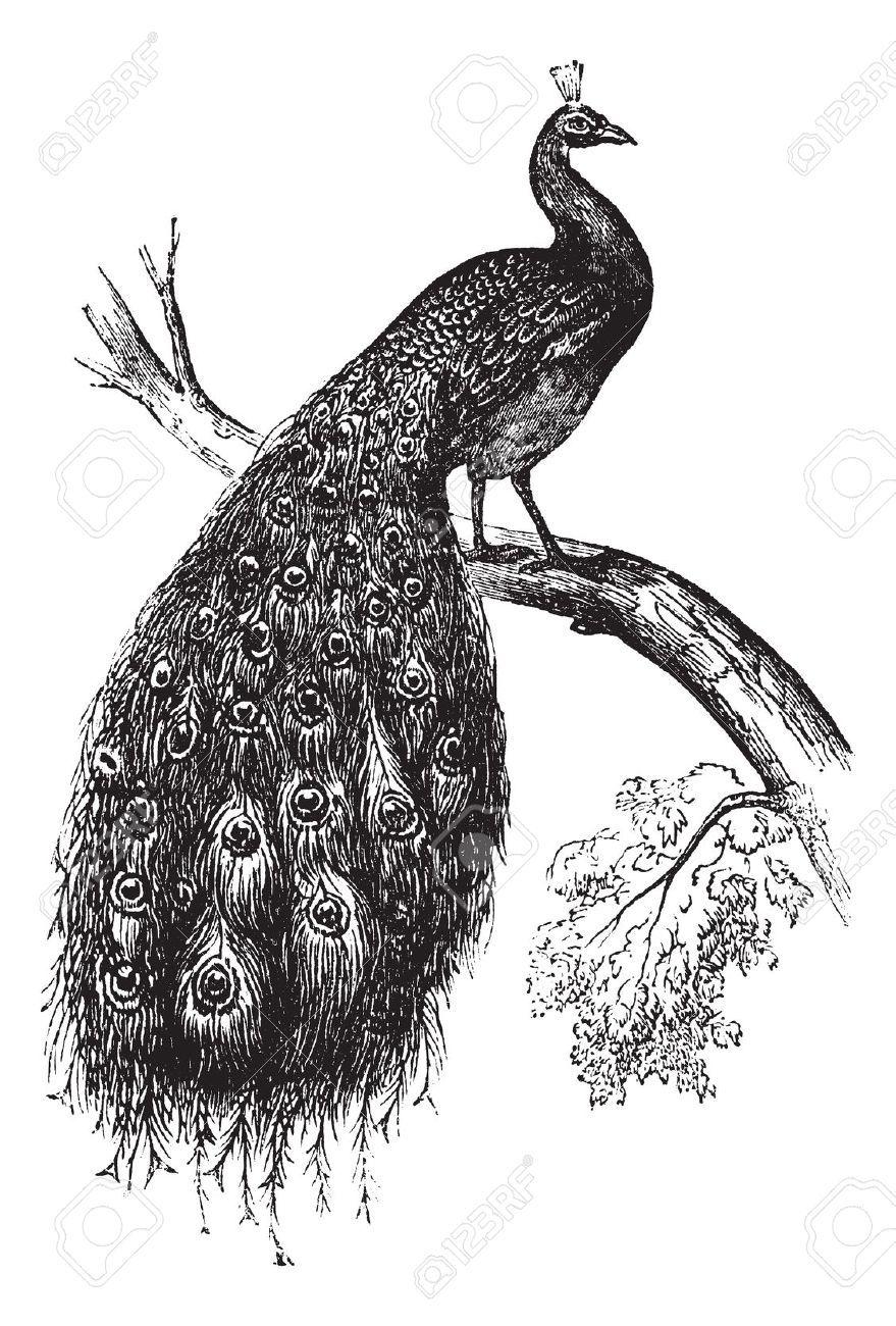 Peafowl Indio O El Azul Pavo Real Cristatus Cosecha Ilustracion Grabada Enciclopedia Trousset 1886