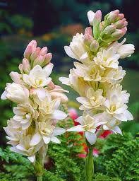 صباحكم معطر برائحة الورد ... صباح الخير ..