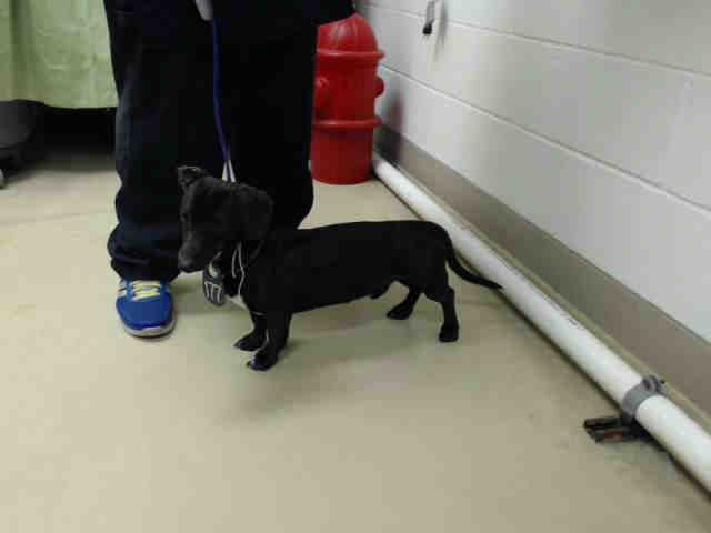 HOUSTON - This DOG - ID#A421943 I am a male, black Dachshund mix. The shelter staff think I am about 1 year and 1 month old. I have been at the shelter since Dec 29, 2014.