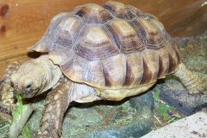Sulcata tortoise is an adoptable Sulcata Tortoise in Centereach, NY. Sulcata tortoise.(PLEASE NOTE SULCATA SHOWN IS NOT ACTUAL SULCATA UP FOR ADOPTION) Please visit our site for our Sulcata adoption p...
