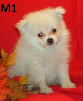 Pomeranian Puppies Shih Poos For Sale In Nc Pomeranian Puppy