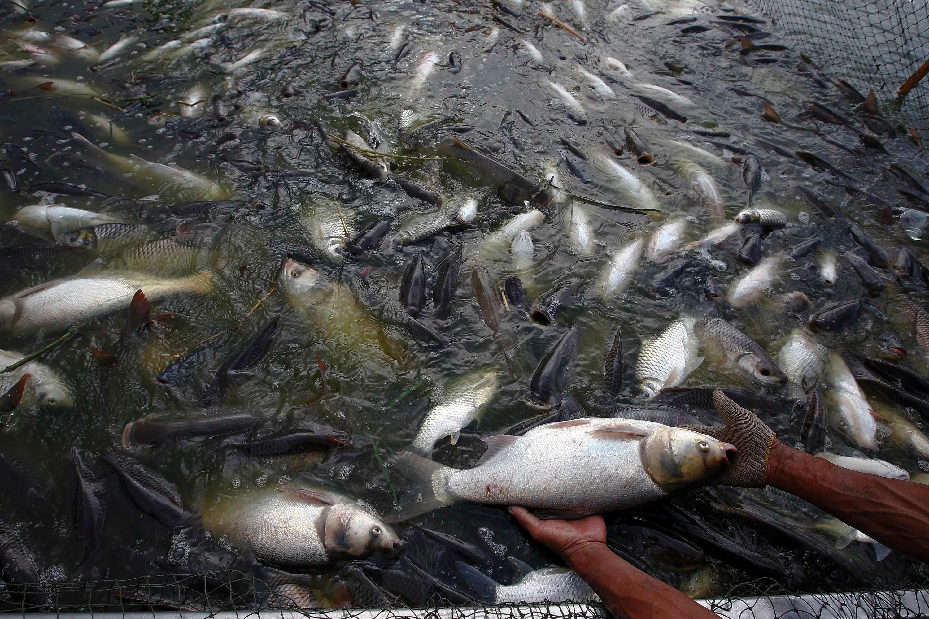 rumor imported chinese tilapia are often raised on yum