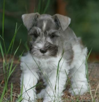 Miniature Schnauzer Puppies For Sale Males And Females Parties Silvers Platinium Livers W Schnauzer Puppy Miniature Schnauzer Puppies Miniature Schnauzer