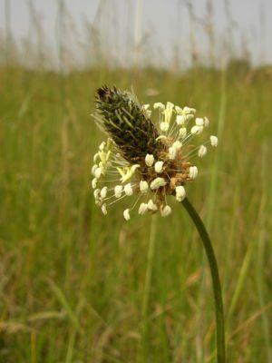 Spitzwegerich (Plantago lanceolata), Blütenstand