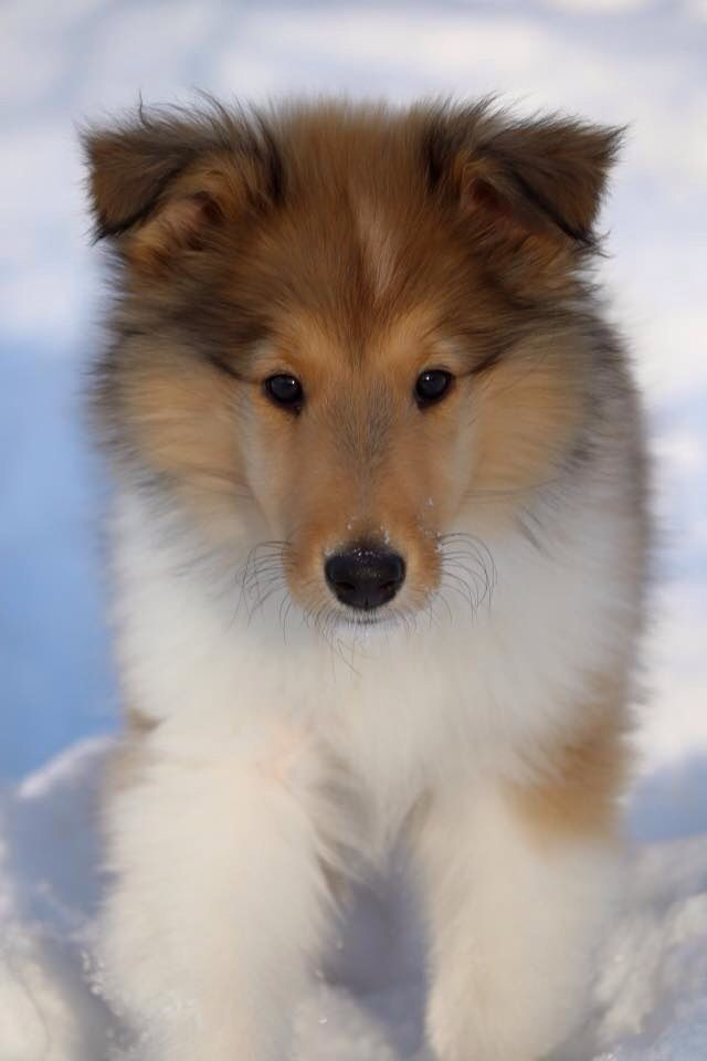 Rough Collie Puppy At 11 Weeks Rough Collie Rough Collie Puppy