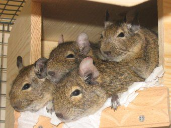 Popular Videos Common Degu Youtube