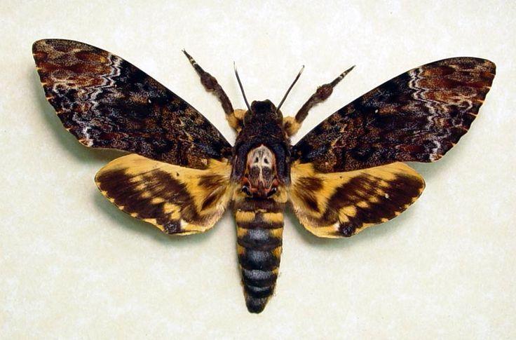 Death Hawk Moth