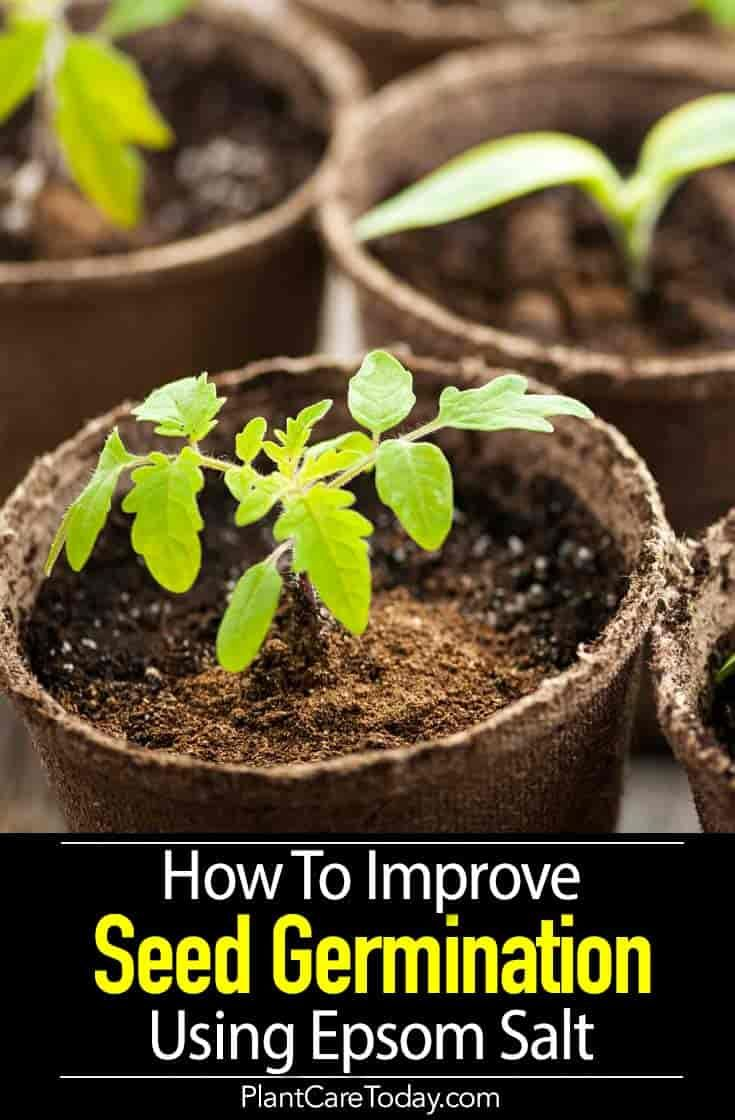 How to improve your seed germination using epsom salt in