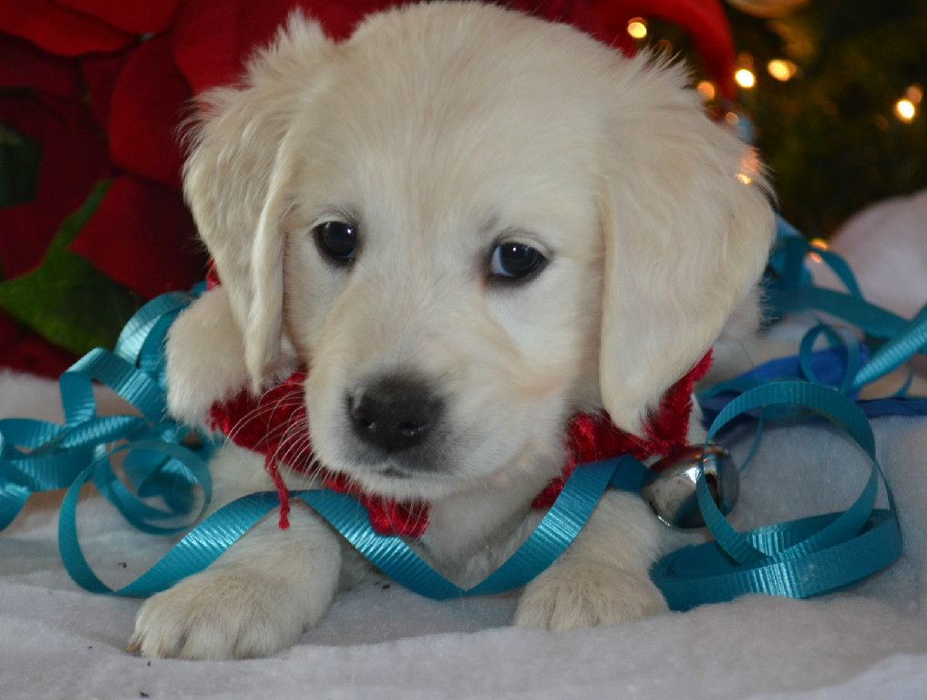 Available English Cream Golden Retriever Puppies Baby Dogs