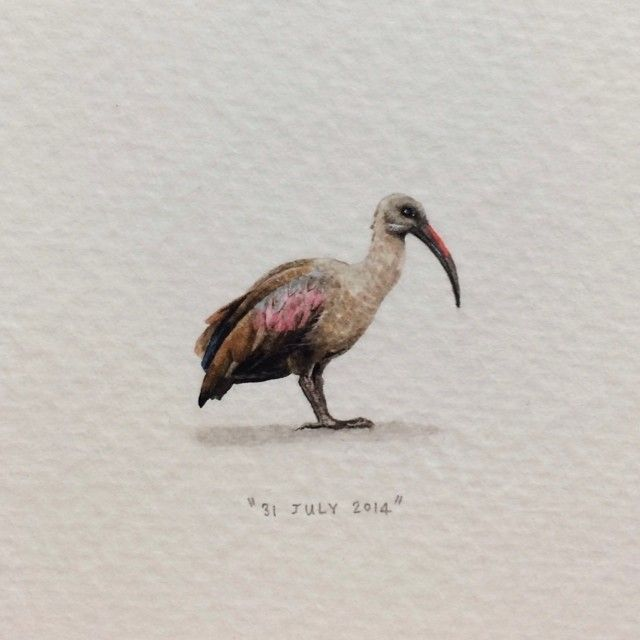 Day 212 : Hadeda   Hadada Ibis. 24 x 21 mm. #365postcardsforants #wdc624 #miniature #watercolour #hadeda #capetown #bird  (at de Waal Drive)