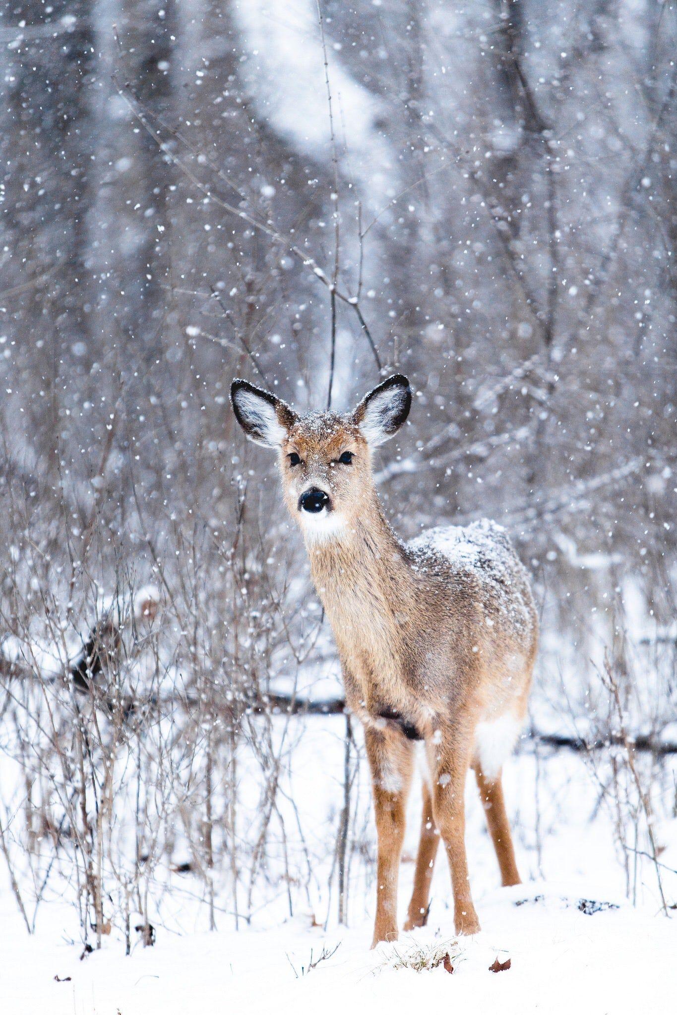 brown deer at winter Animal photo, Winter animals, Deer