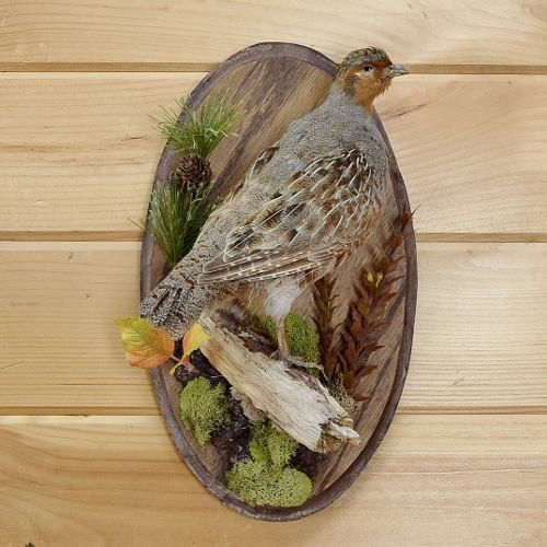 Hungarian Partridge Taxidermy Mount - SW2986 | Products