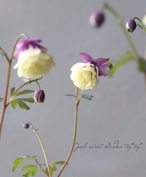 Photo of 小輪!八重咲き風鈴オダマキ 『クリームパープル』-Junk sweet Garden tef*tef*