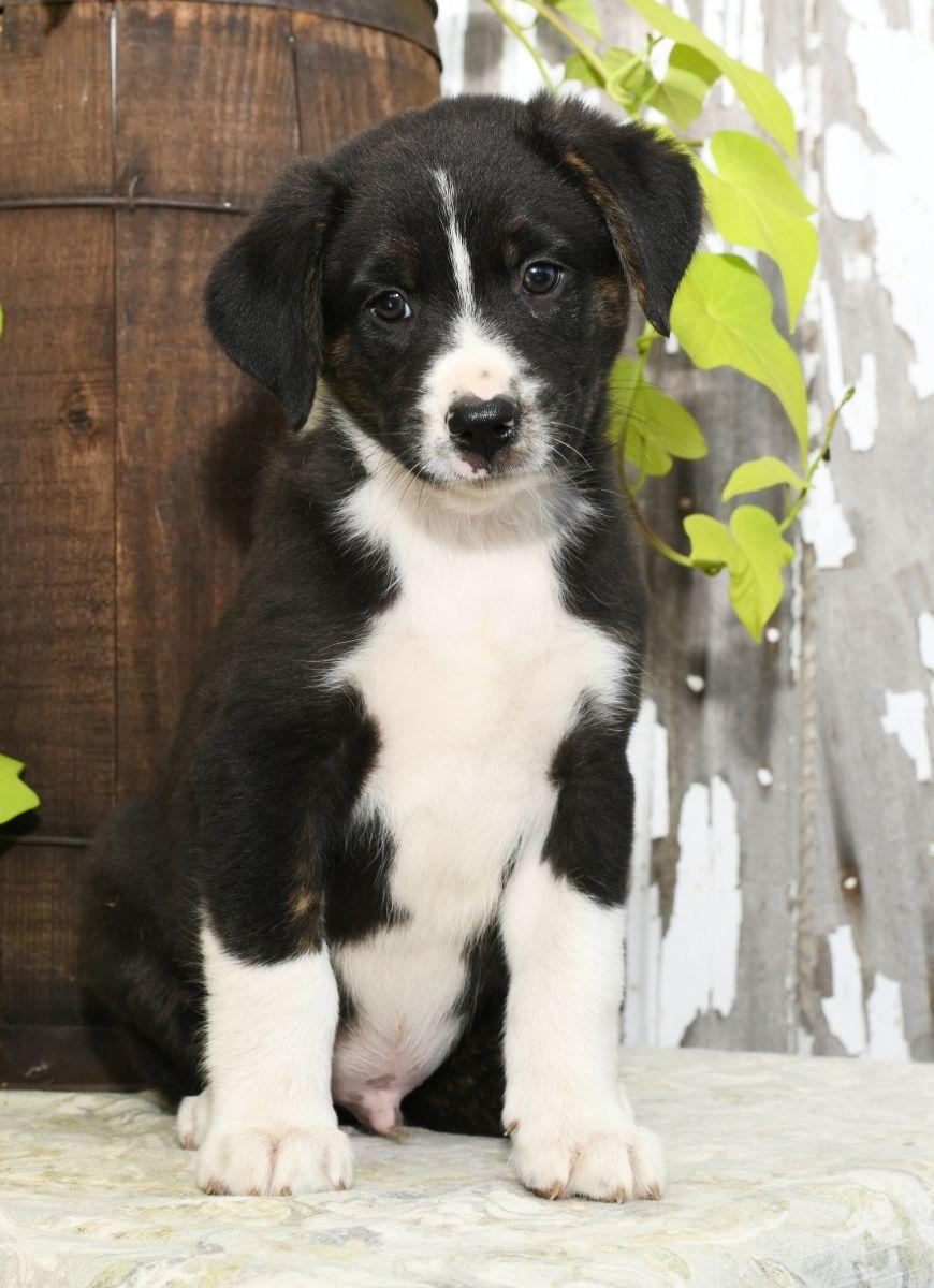 Puppies For Sale Lancaster Puppies Puppy Adoption Dog Breeder