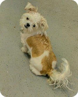 Kansas City Mo Shih Tzubrussels Griffon Mix Meet Squiggy A Dog