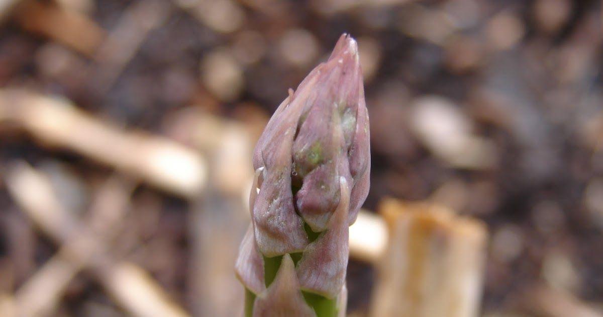 Can I Grow Asparagus In Utah Growing Asparagus Growing Food Asparagus