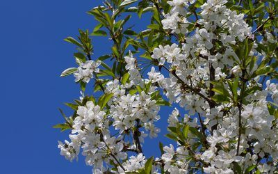 Spring Blossoms On A Sour Cherry Tree Wallpaper Sour Cherry Tree Spring Blossom Cherry Tree