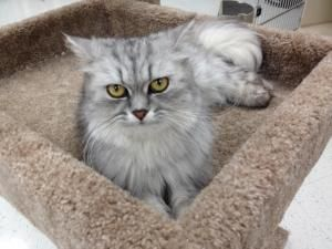 Adopt Aletta On Petfinder Persian Cat Cats Persian