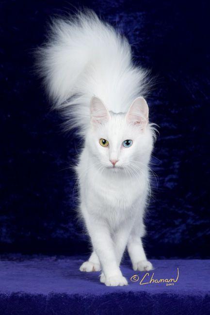 Turkish angora odd eyed cat