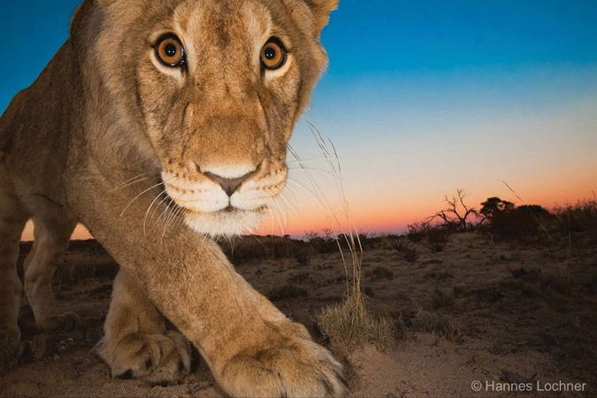 The Kgalagadi Transfrontier Park and its fascinating landscapes is famous for its high density of big cats. https://africageographic.com/blog/kalahari-photo-safari/   Choose your epic holiday here >> https://www.cat-africa.com/en/crafted-programs?destinations%5B%5D=63&destinations%5B%5D=123&luxury=true&premium=true