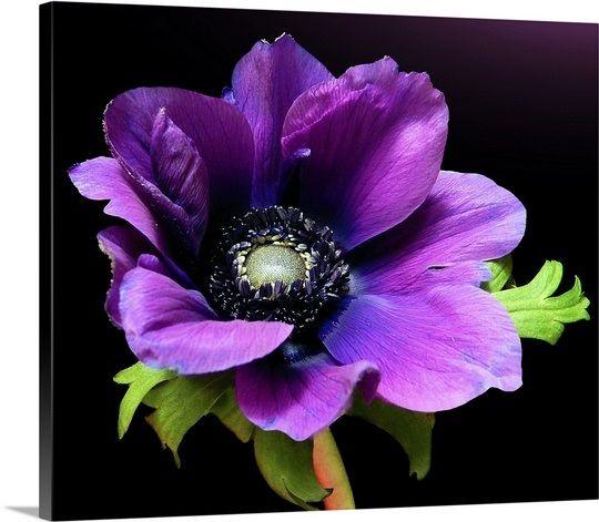 Purple Anemone Flower On Black Background Anemone Flower Anemone Flower Painting