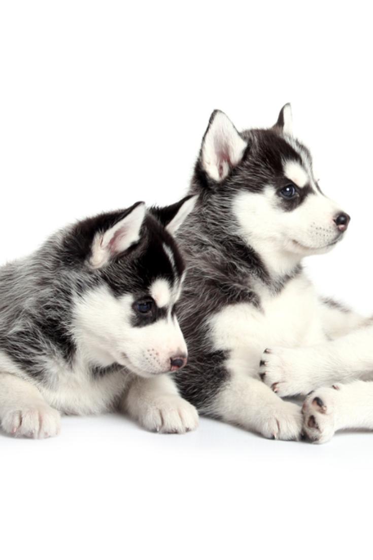 Siberian Husky Puppies Siberianhusky Siberian Husky Puppies Husky Siberian Husky