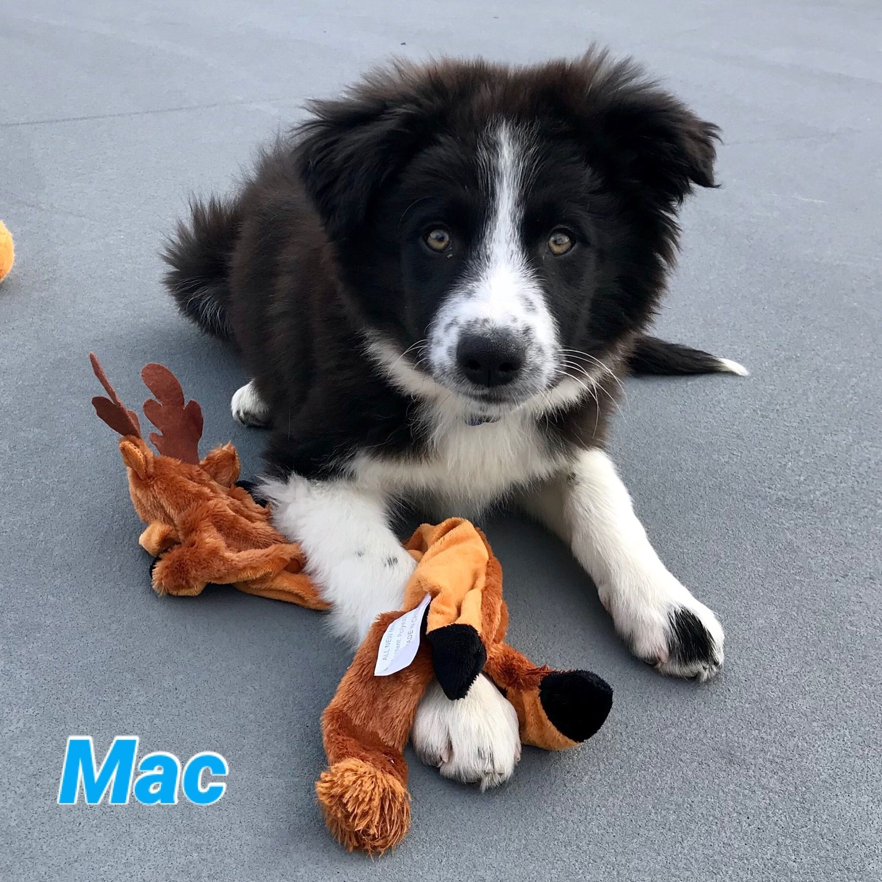 Adopt Mac On Great Pyrenees Dogs South Elgin