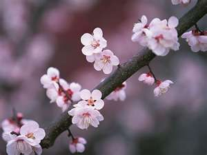 Cherry Blossom Cherry Blossom Flowers Cherry Blossom Wallpaper Cherry Blossom Symbolism