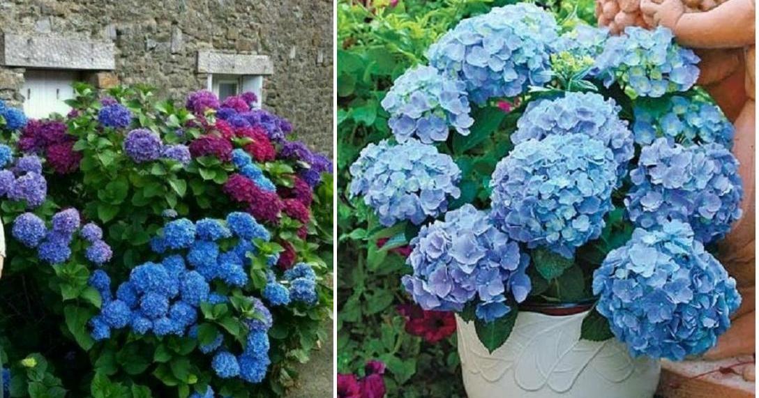 Las hortensias son mucho m s que bellas ornamentales for Todas las plantas son ornamentales