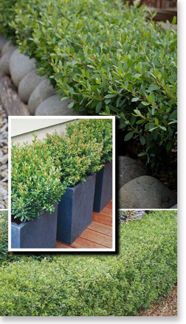 leptospermum  u0026 39 fore shore u0026 39  species laevigatum  low native hedge  50cm high x 100 wide  his plant