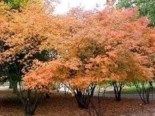 B & B Shrub - Amelanchier Canadensis by Tree Nursery Company: http://www.treenurseryco.com/amelanchier-canadensis/