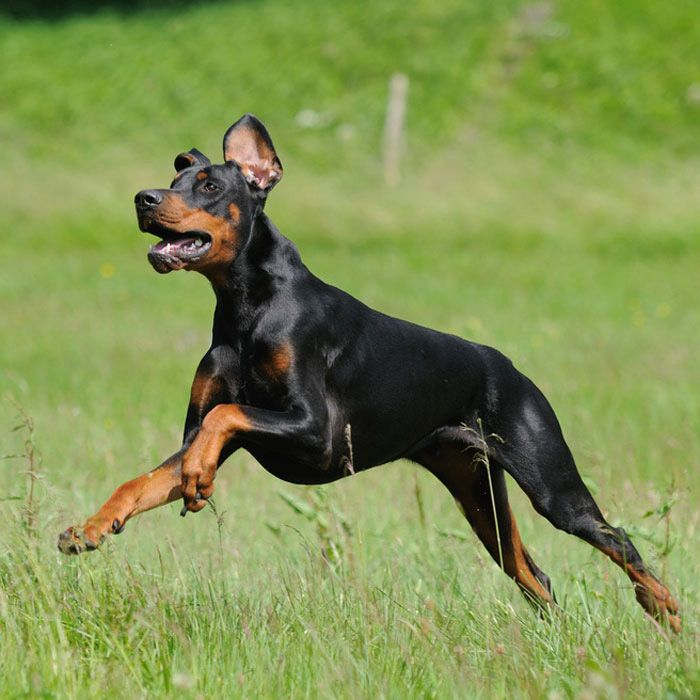 The 20 Best Active Dog Breeds Dog Activities Dog Breeds Dogs