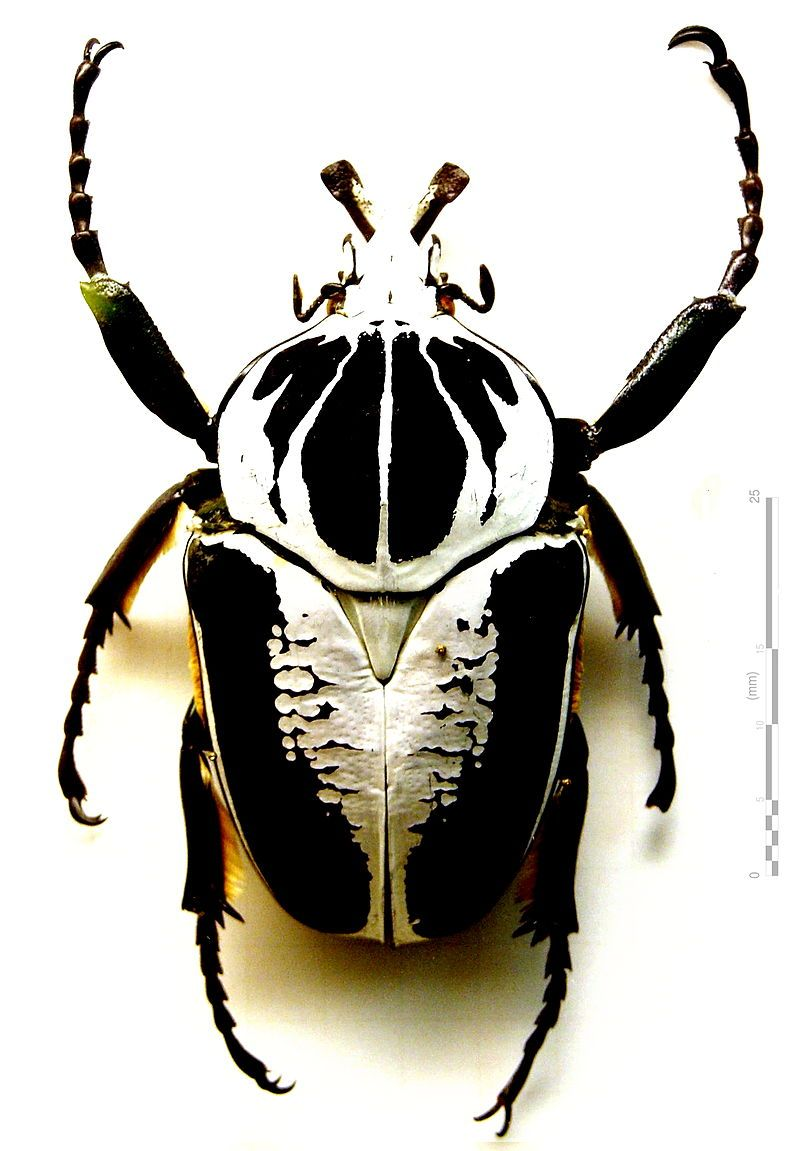 Goliathkäfer Goliathus Regius Klug 1835 Golden Beetle Insects