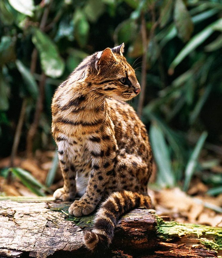 Pin on WILD CATS of the World / Great & Small