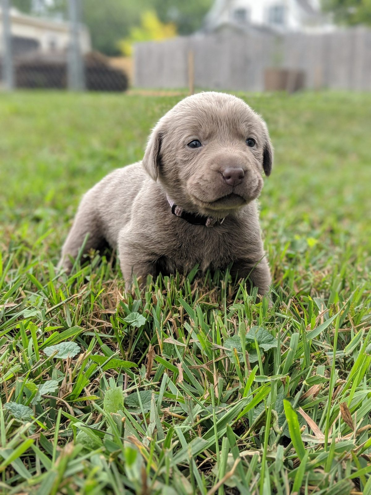 AKC female Silver Lab puppy with light pink collar (Dallas
