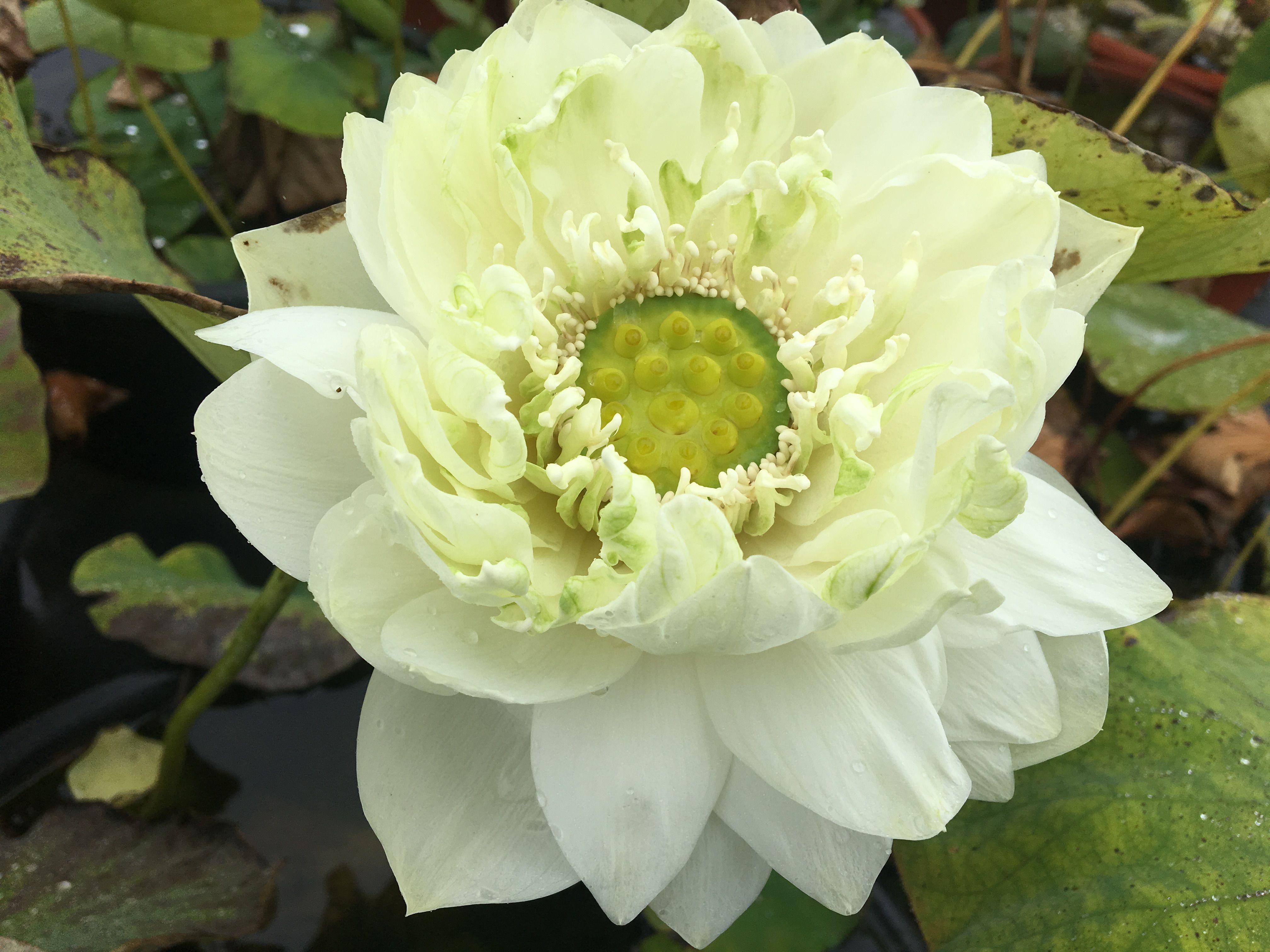 Pin By Lotus Paradise On Bergen Water Gardens Lotus Pinterest