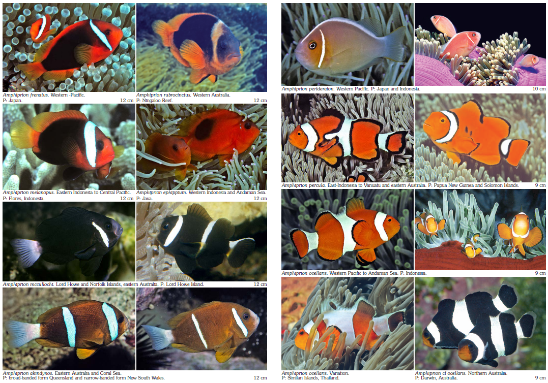 All Types Of Clownfish These Rare And Tropical Fish Finder Button Tropical Fish Clown Fish Fish Finder