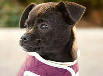 Bochi Dog Boston Terrier Chihuahua Bochi Dogs Terrier