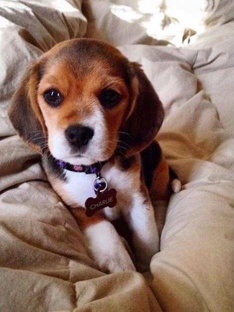 Omg I Think We Need A Charlie Beagle Too Cute Animals