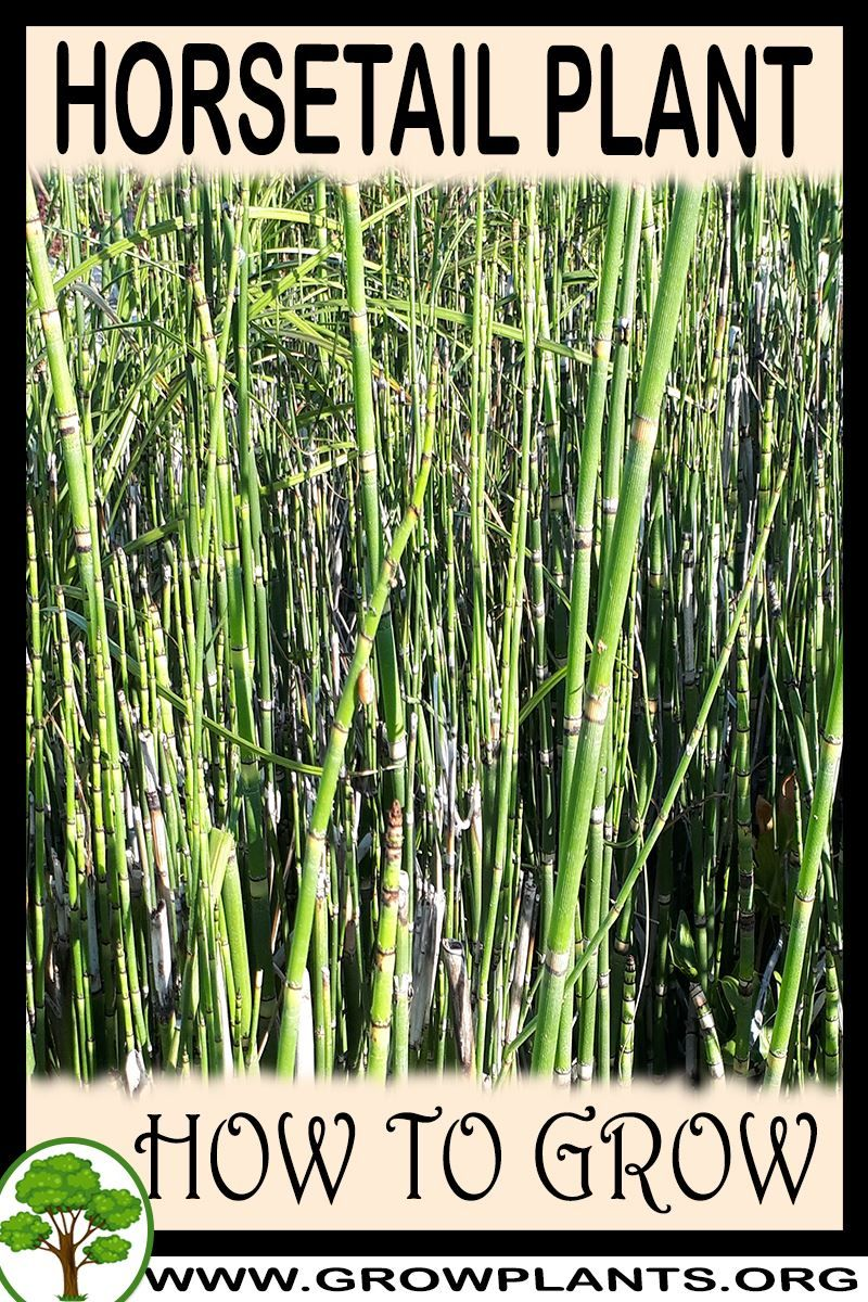 Horsetail plant - How to grow & care