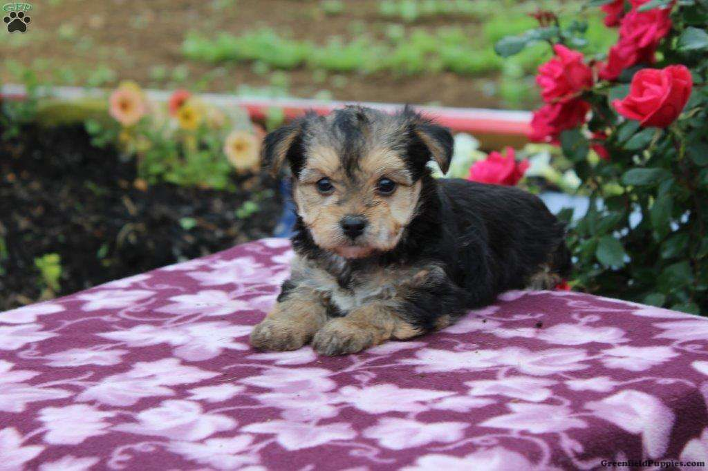 Karloes morkie yorktese puppy for sale in pennsylvania