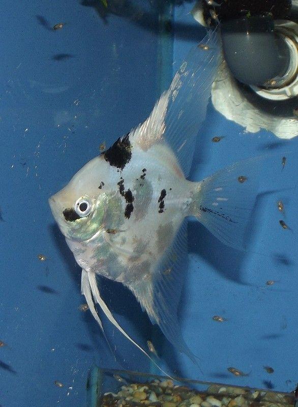 Blue Koi Angelfish Peces Tropicales Ciclidos Tropical
